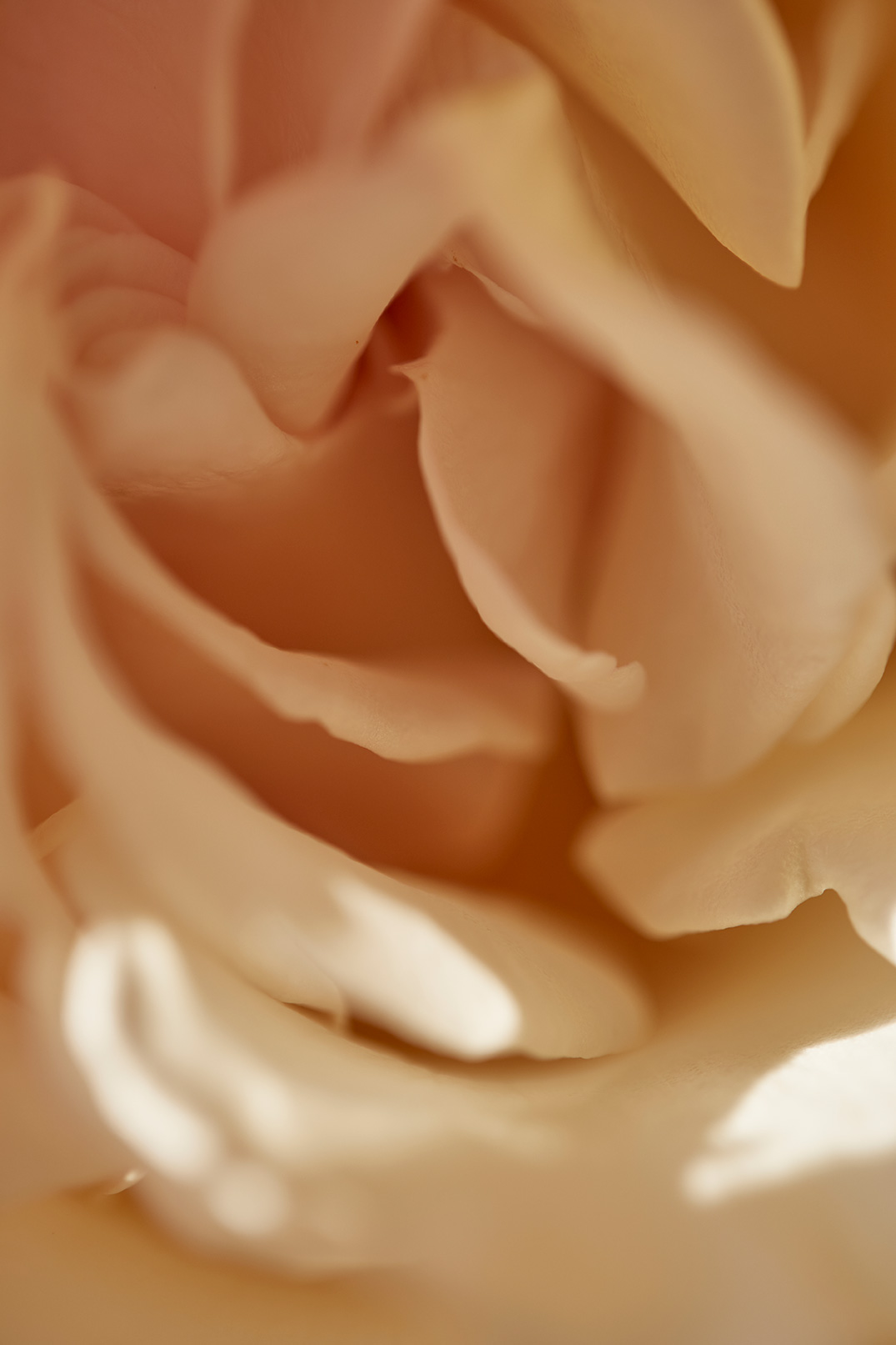 Rose Detail from Le Mas