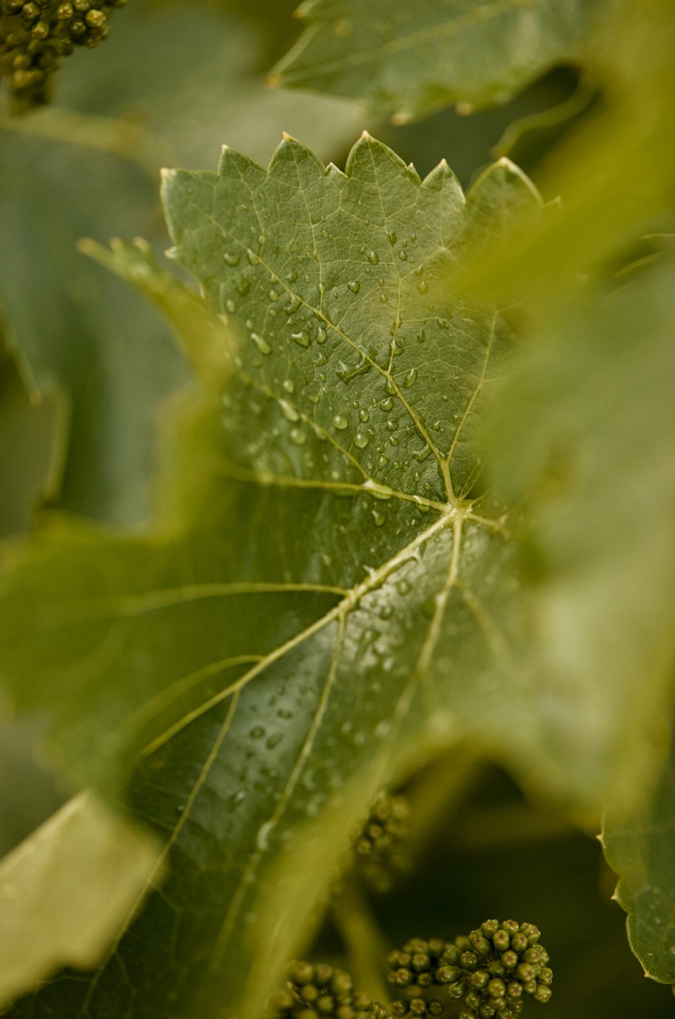 Morning Dew, Grenache Vine Leaf