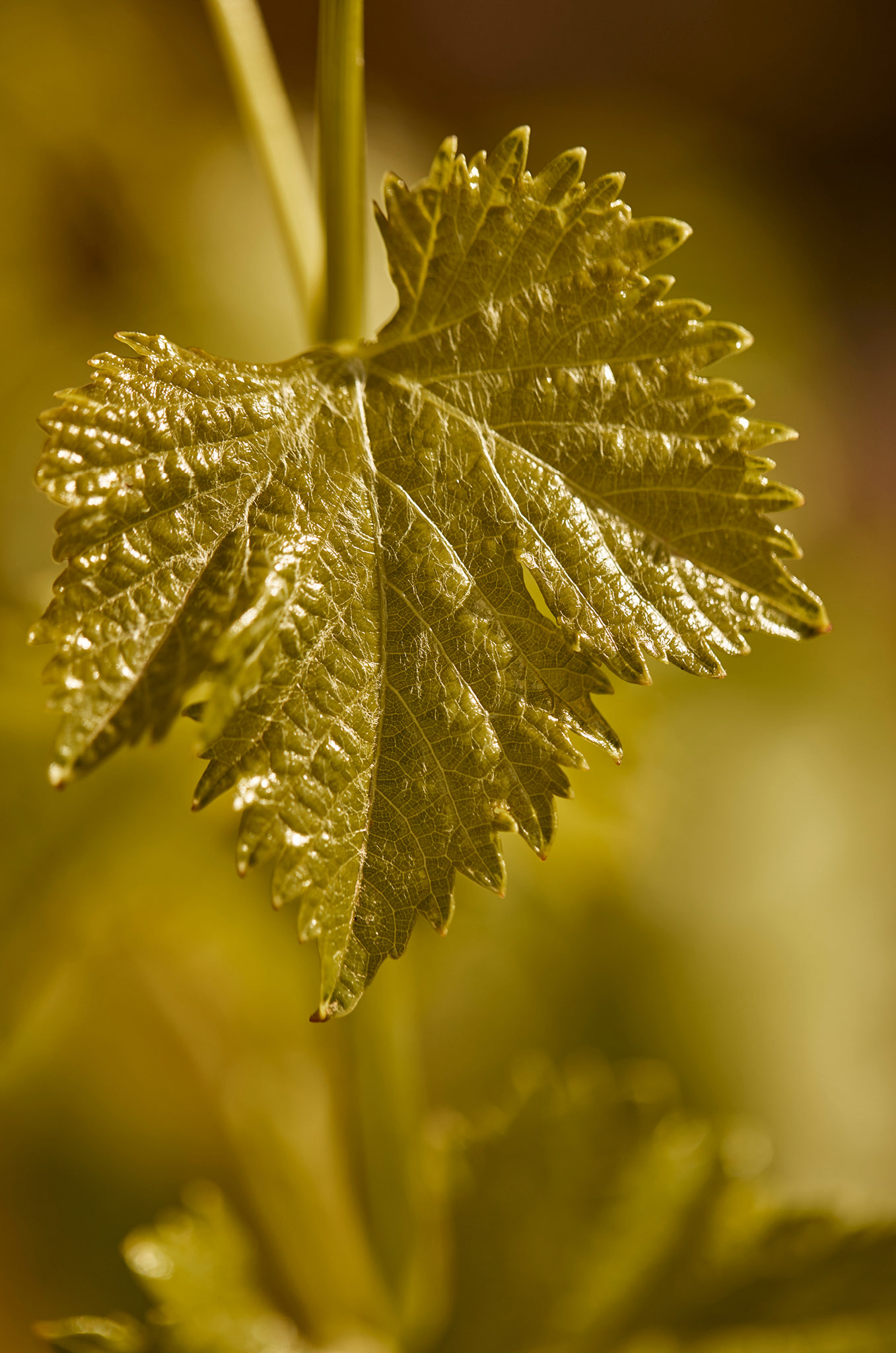 Beautiful Grenache Vine Leaf
