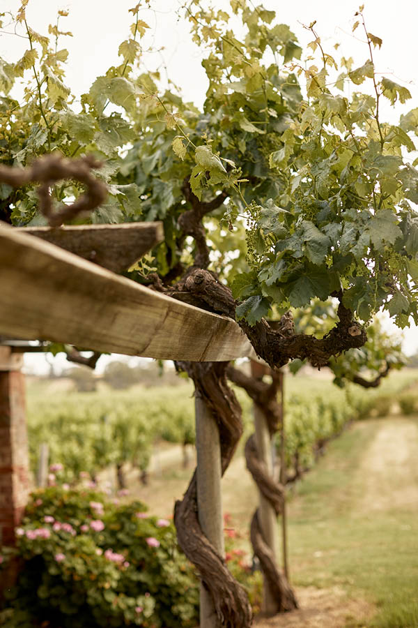 Table Grape Vines wrapped around Trellis